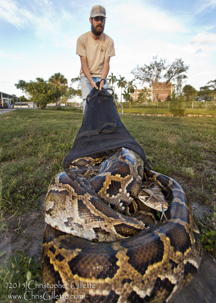 the pythons in everglades and the The huge burmese snakes and other invasive species are thriving a coalition of volunteers, wildlife officials, and scientists are working to slow their spread and destruction of the environment.