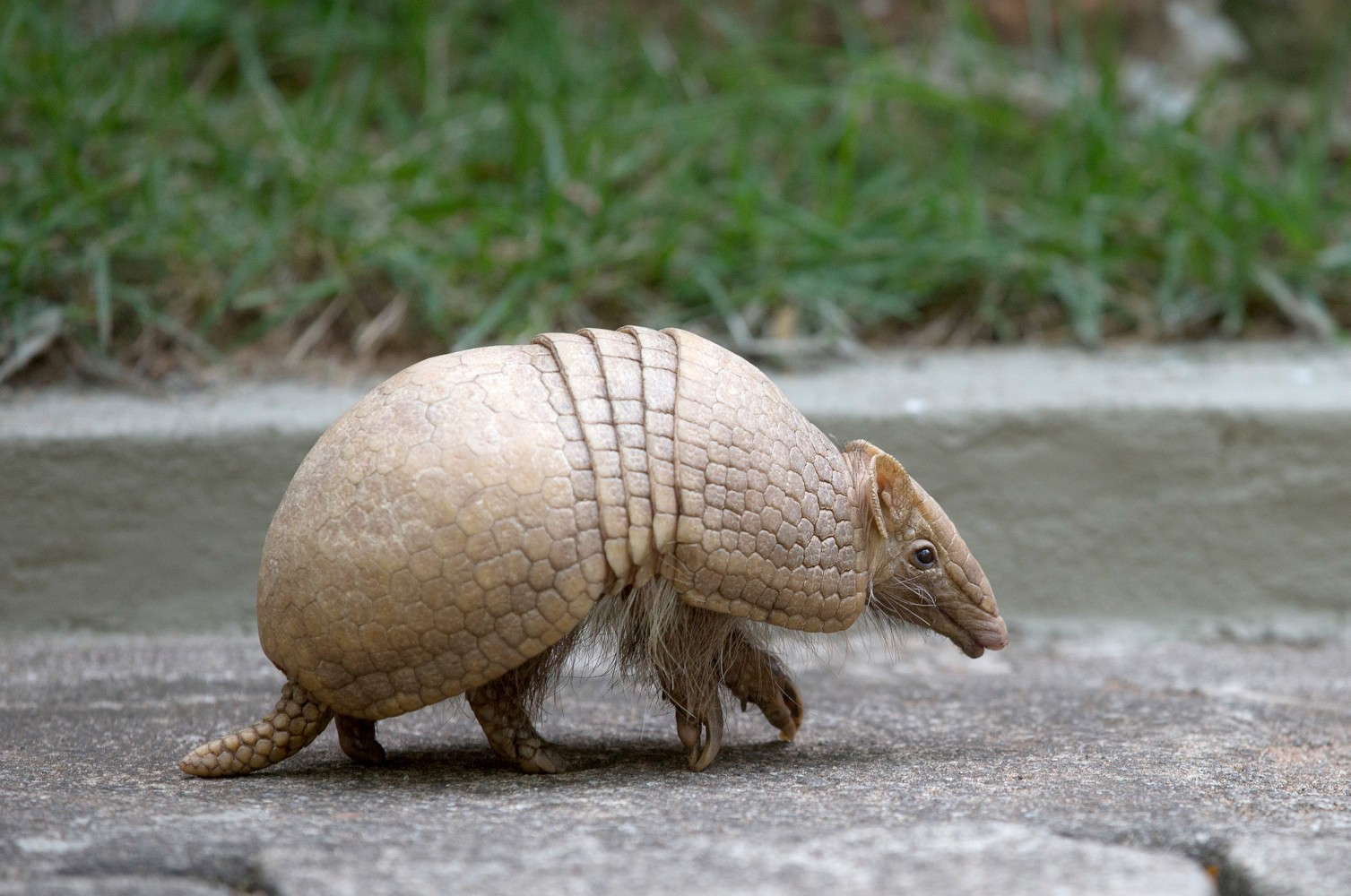 Texas Man Injured After Bullet Ricochets Off Armadillo