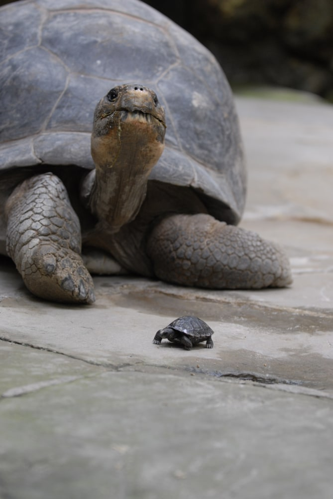 Giant Galapagos Tortoise 80 Has 9 Hatchlings At Zurich