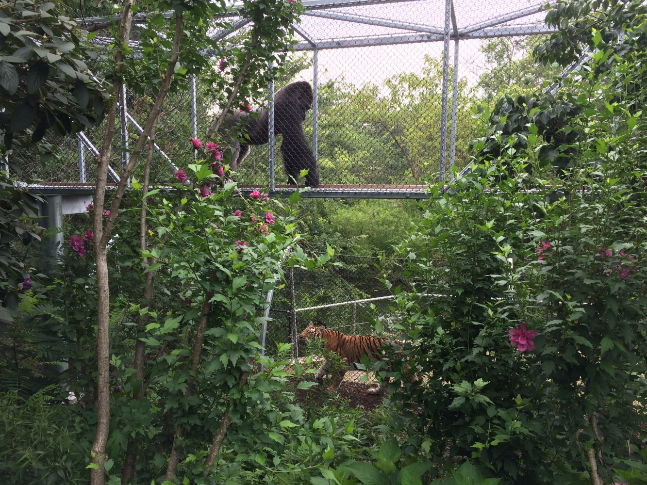 Gorilla Death Do Zoos Sacrifice Safety For Close Up Looks