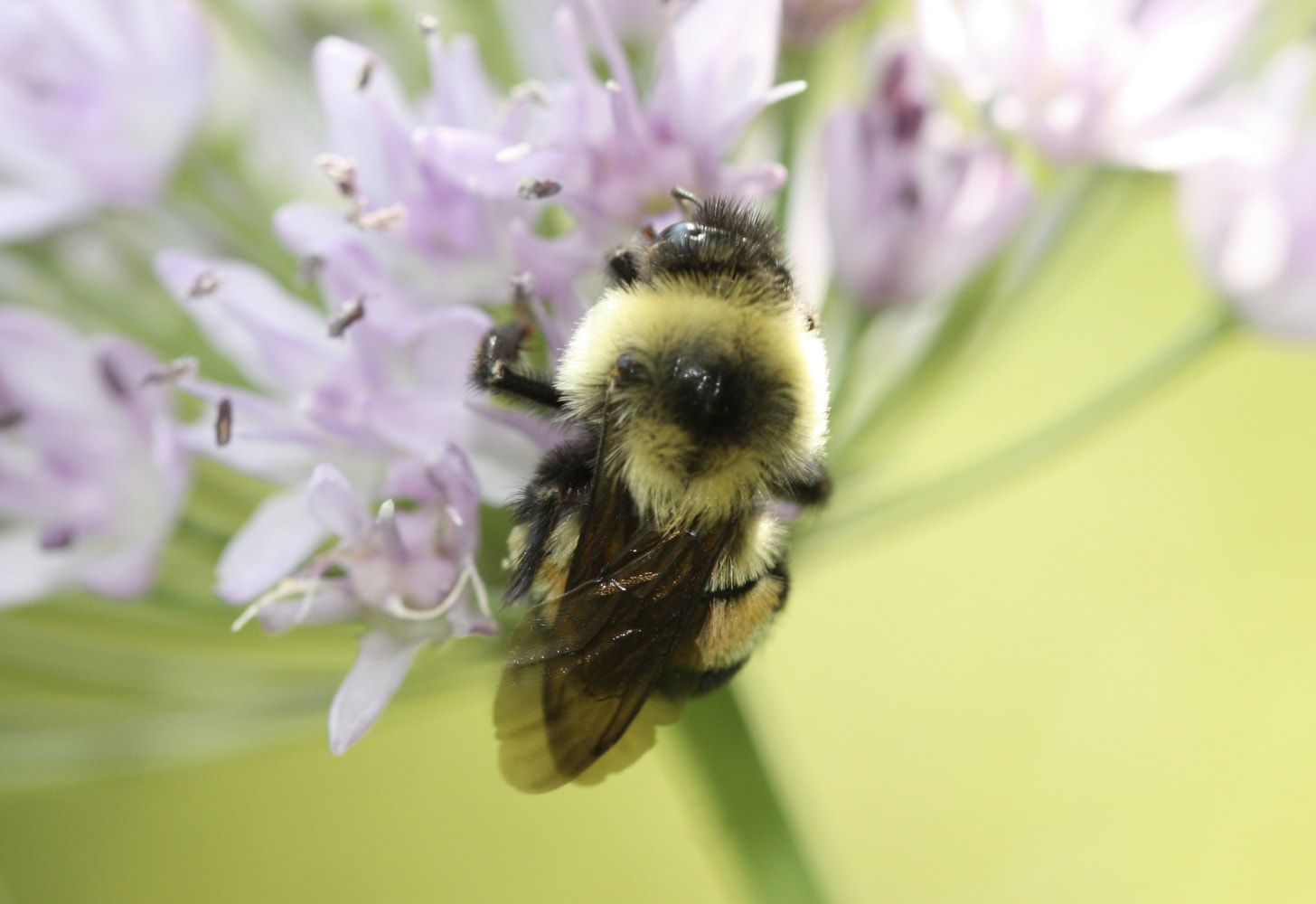 Rusty patched bumble bee listed as endangered species
