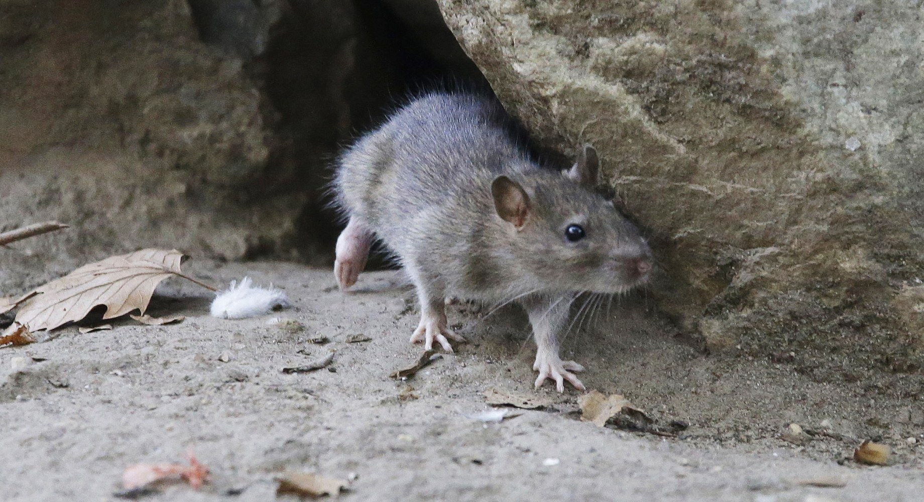 NYC man killed by disease spread by rats