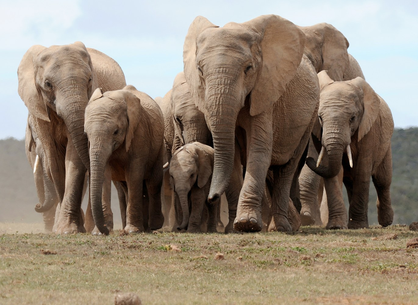 wild elephants sleep just 2 hours a day puzzling scientists in