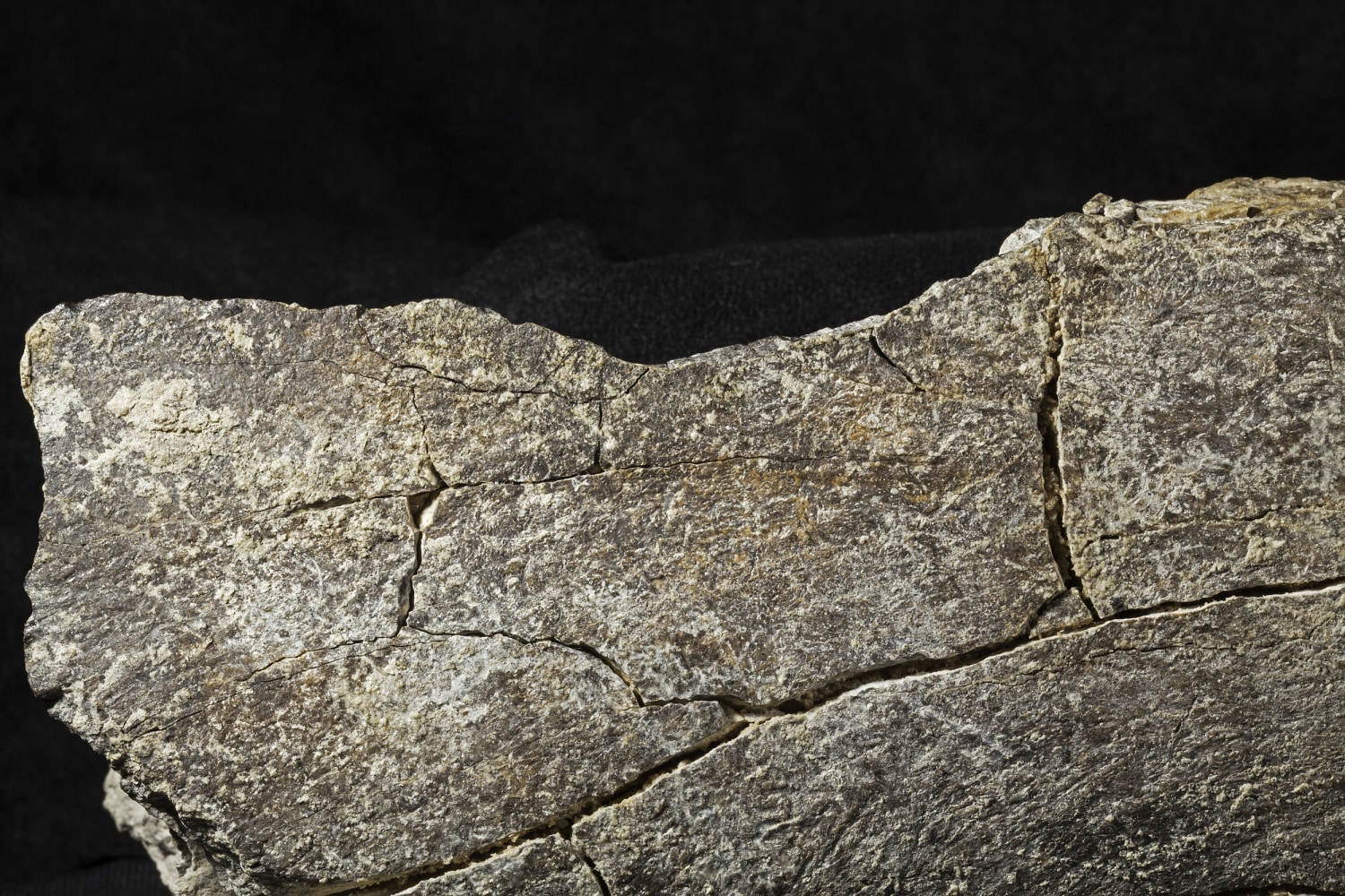 mastodon bone findings could upend our understanding of human, Skeleton