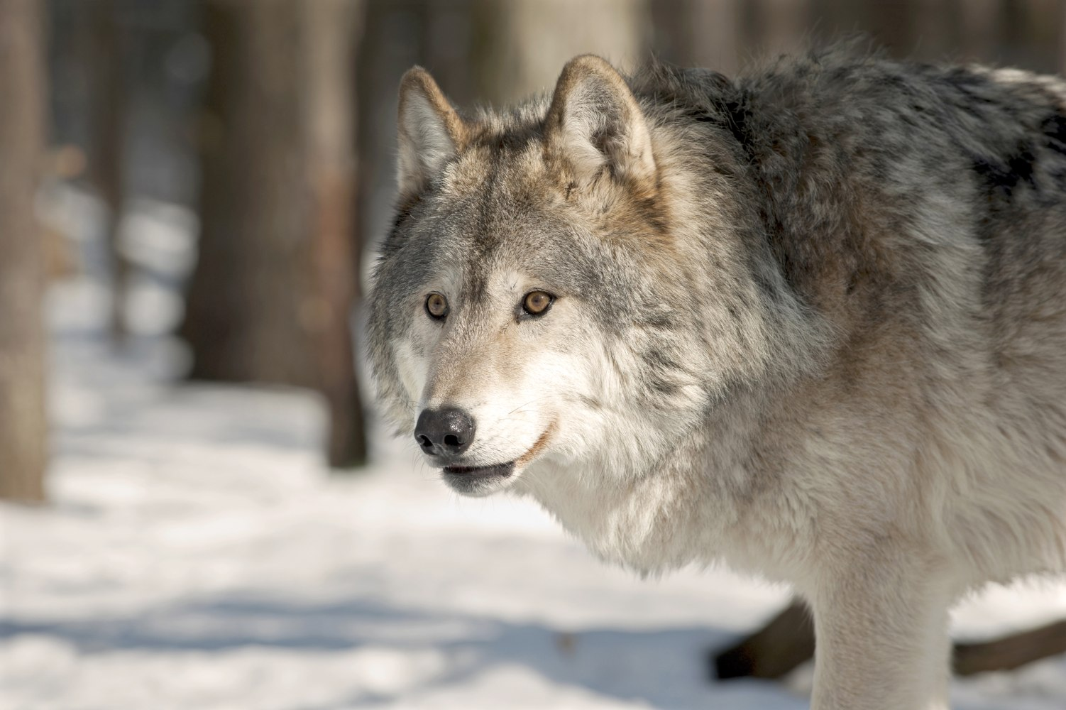 Court Rules Gray Wolves Remain Endangered In Western Great