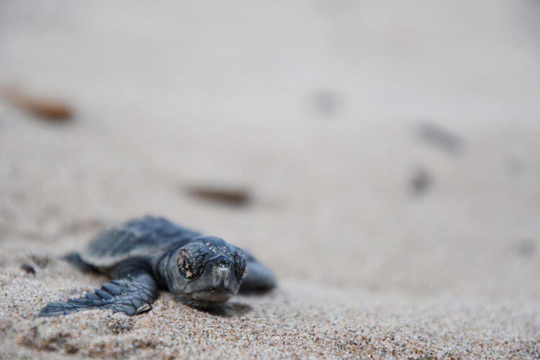 Sea Turtle Nesting Season in Southwest Florida | Must Do ...  |Baby Sea Turtles