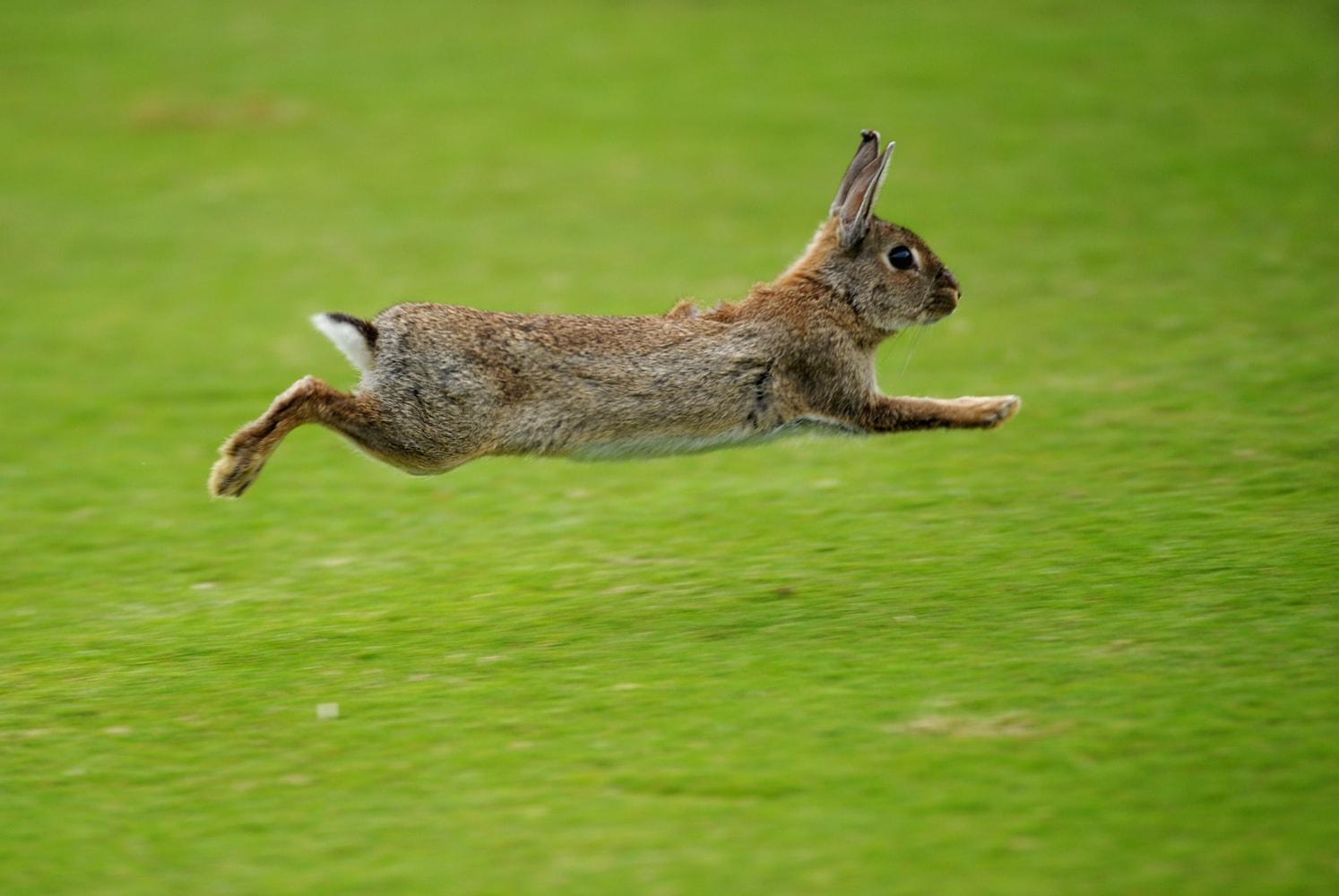 how the rabbit got its cotton white tail nbc news