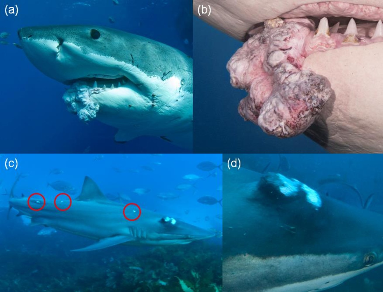 2d9860224-shark-tumors-use.nbcnews-ux-28