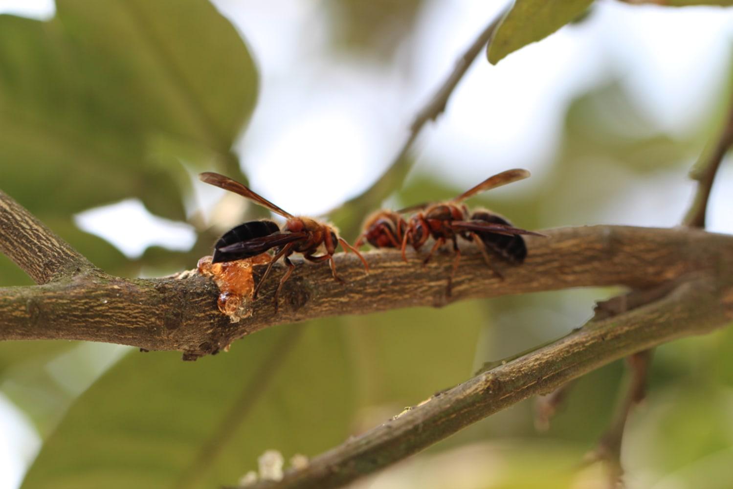 the asian hornet habitat jpg 1200x900