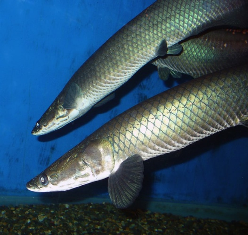 New species of giant amazon fish discovered in brazil for New fish discovered