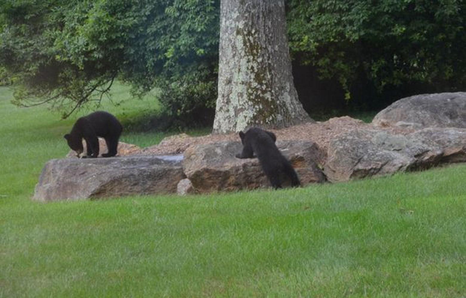 beary beary cute scene as bears play on slide in n j backyard