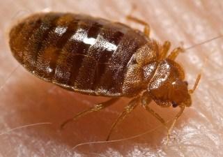 Image: A bedbug