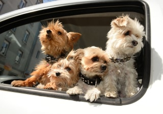 Image: Pets in cars