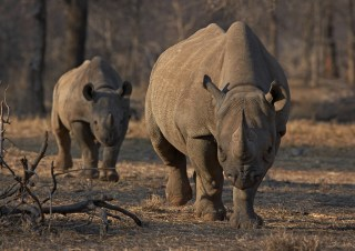 Image: An endangered east African black rhino and her calf walk in Tanzania's Serengeti park