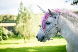 Photo: A shetland pony dressed as a unicorn in Scotland.