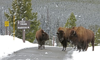 Image: Bison on road near Old Faithful Yellowstone National Park