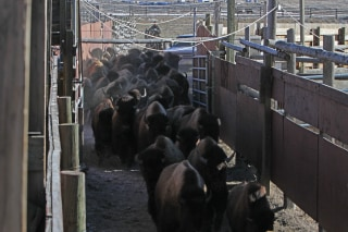 Image: Yellowstone National Park staff moving bison in Stephens Creek Capture Facility