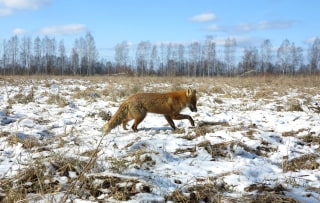 Image: A fox in the Chernobyl Exclusion Zone on March 5, 2016