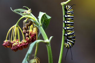 Image: A Monarch butterfly caterpillar is pictured on a plant in North Miami Beach