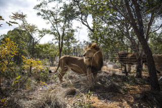 Image: One of the lions enjoys his new enclosure at the Emoya Big Cat Sanctuary