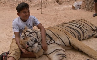 Image: A young boy plays with a tiger