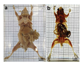 Image: Researchers in Germany have made mice see-through