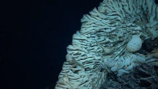 Image: A giant sponge in the Papahanaumokuakea Marine National Monument