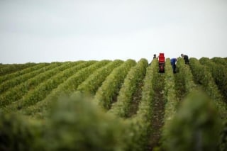 Grape pickers harvest fruit from the vines at a vineyard in Mailly-Champagne, eastern France during the traditional Champagne wine harvest