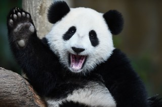 Image: One-year-old female giant panda cub Nuan Nuan reacts inside her enclosure