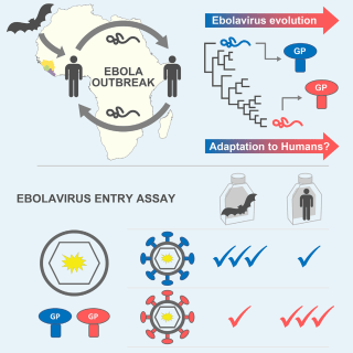 Image: This figure depicts the finding that the Ebola virus acquired amino acid substitutions in its glycoprotein that increased its tropism for human cells during the West African outbreak of 2013-2016.
