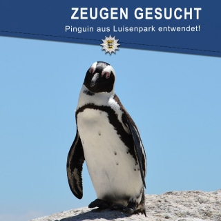 Image: A Humboldt Penguin went missing from his enclosure in Luisenpark
