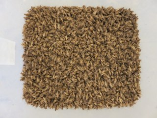 Image: Crickets