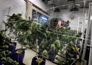 Image: A worker tends to cannabis plants growing at the Perennial Holistic Wellness Center which is a medicinal marijuana dispensary in Los Angeles, California on March 24, 2017.