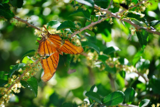 Image: Daggerwing butterfly