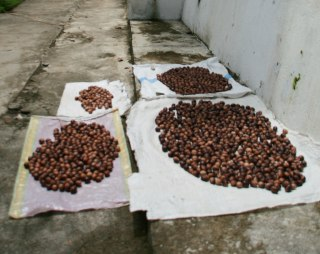 Image: Nutmeg dries in a street in the Banda Islands