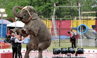 Image: Minnie the elephant at the Connecticut Commerford Zoo.