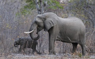 Image: Elephants graze inside Zimbabwe's Hwange National Park