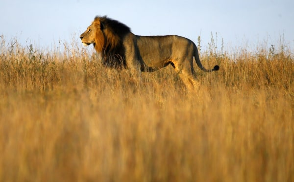 Image: A lion is seen early morning at Nairobi's National Park