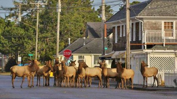 A herd of Roosevelt elk in the downtown area of Gearhart, Oregon