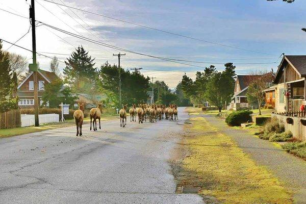 A herd of Roosevelt elk leaving the downtown area of Gearhart, Oregon