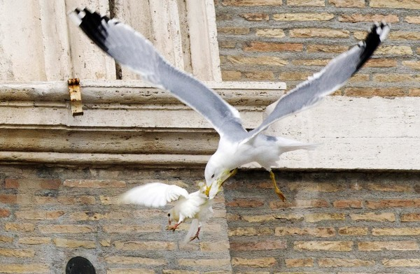 Image: A dove released during an Angelus prayer conducted by Pope Francis, is attacked by a seagull at the Vatican
