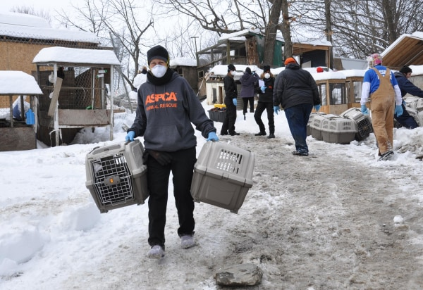 Image: ASPCA workers at the scene of a cockfighting raid in upstate New York.