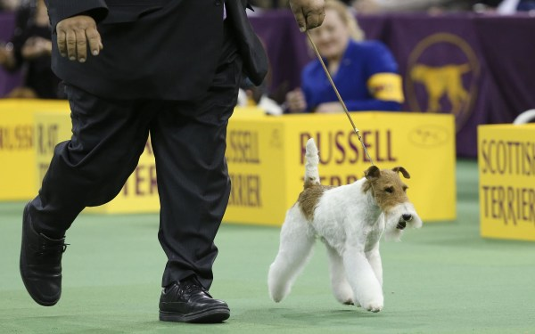 Image: Sky, a wire fox terrier,