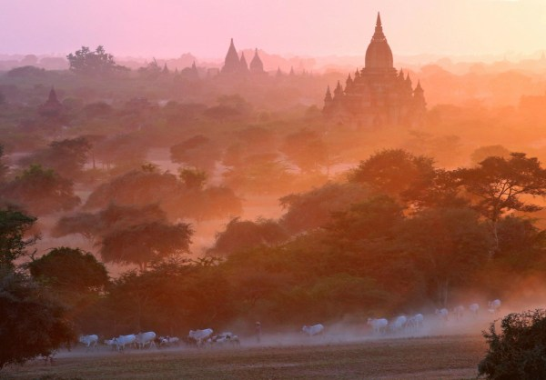 Image: A herder and his cattle pass in front of the ancient pagodas at Bagan, Myanmar on Feb. 3.