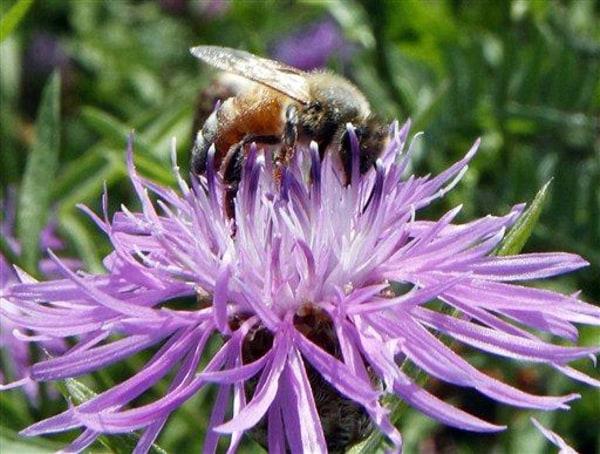 Image: Bumblebee