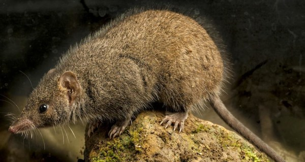 Image: Black-tailed antechinus