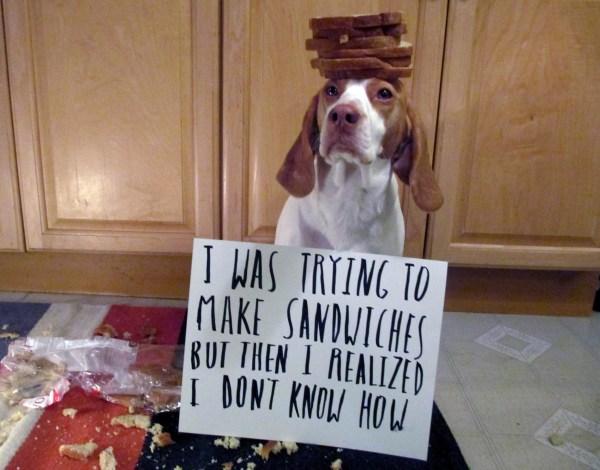 Image: Maymo a lemon beagle poses for a shame illustration in Merrimack Valley, Mass.