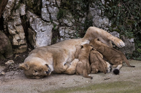 Image: Asiatic lion Shiva, the mother of the three unnamed cubs, feeds them in the Besancon zoo, eastern France