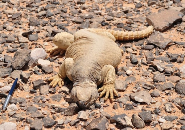 Image: Spiny-tailed lizard