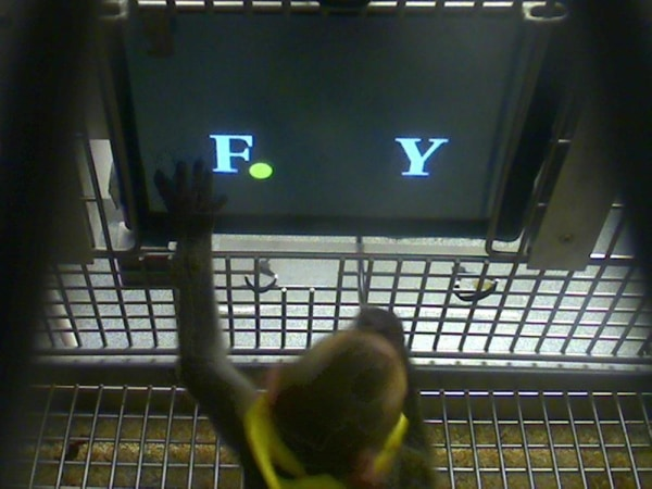 Image: A rhesus monkey chooses between two letters.
